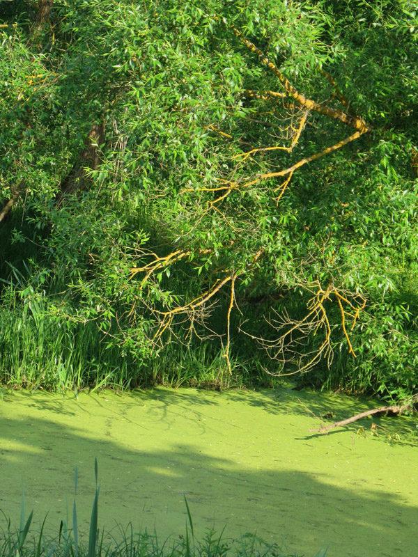 Запруда (заводь), покрытая тиной, на реке Шать.