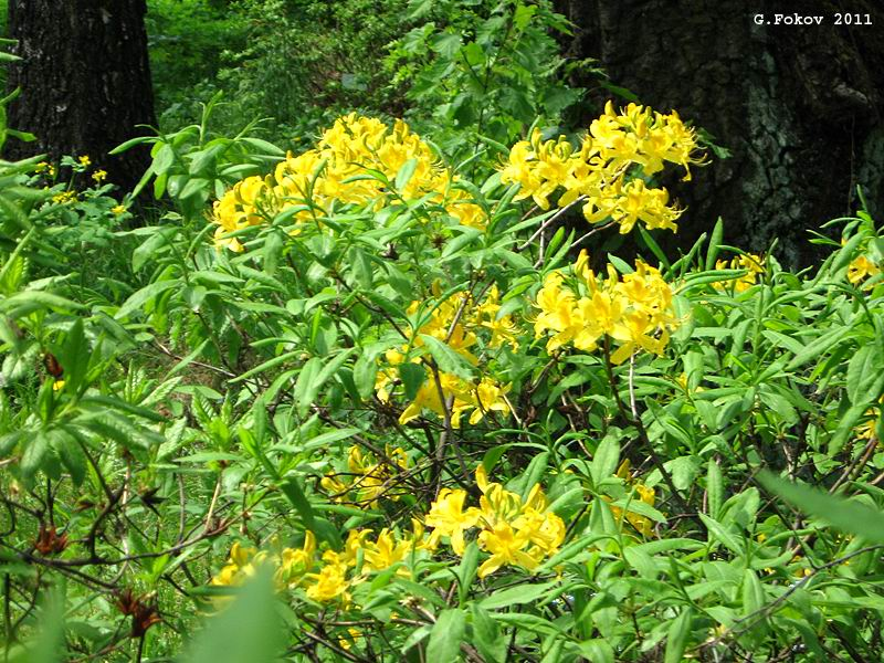 0044_Rhododendron luteum