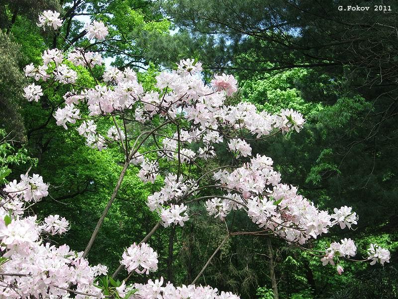 0046_Rhododendron vaseyi