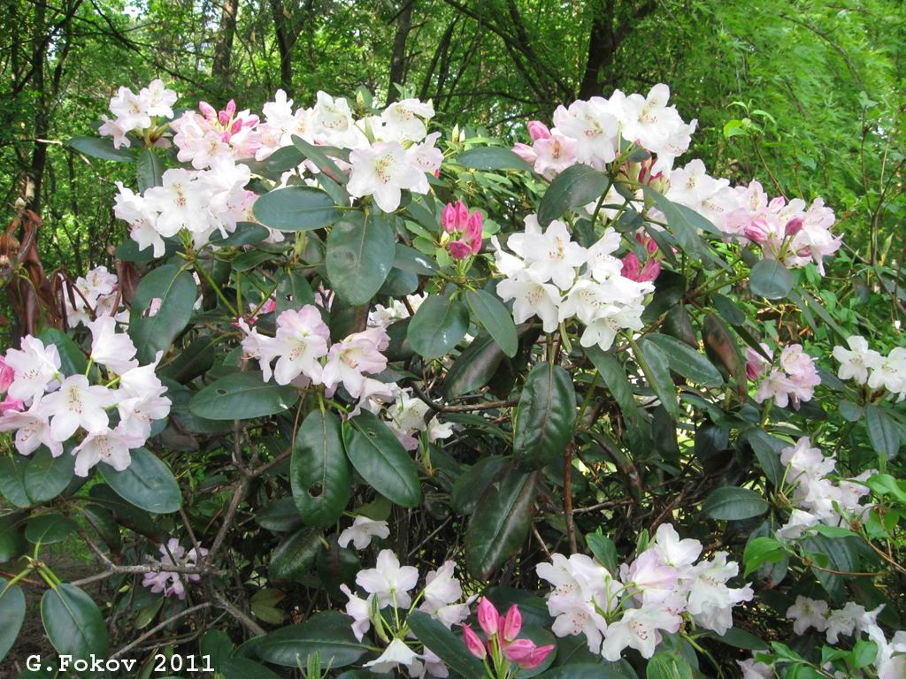 0205_Rhododendron