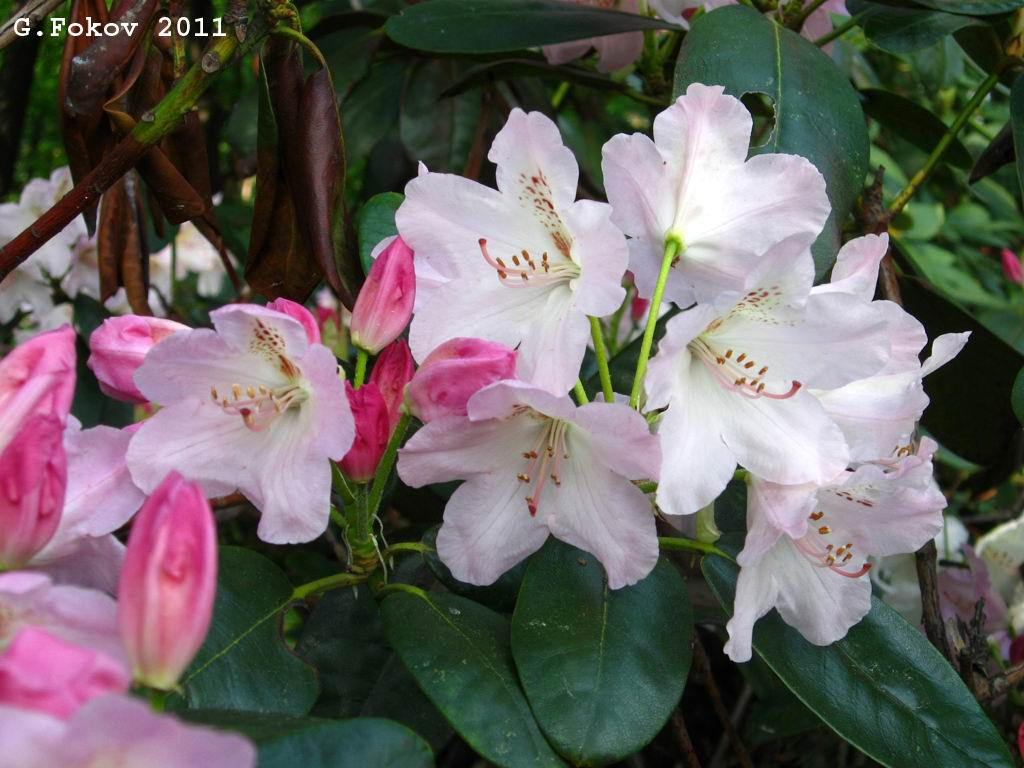0216_Rhododendron