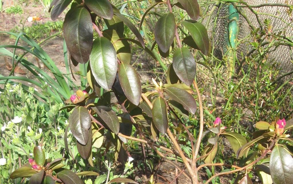 7299_Rhododendron Carolinskij