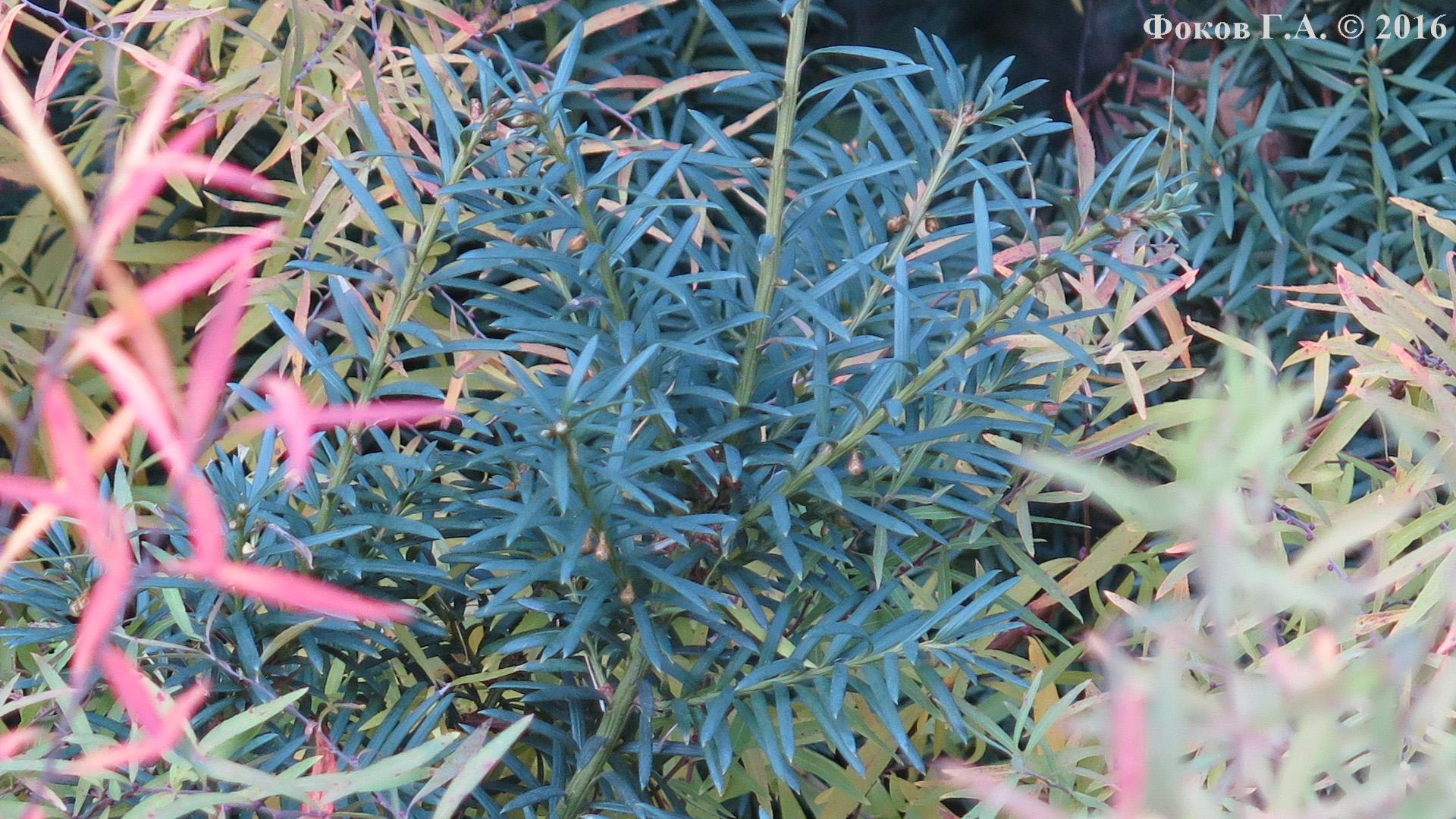 Синеватая трава в Сырецком дендропарке
