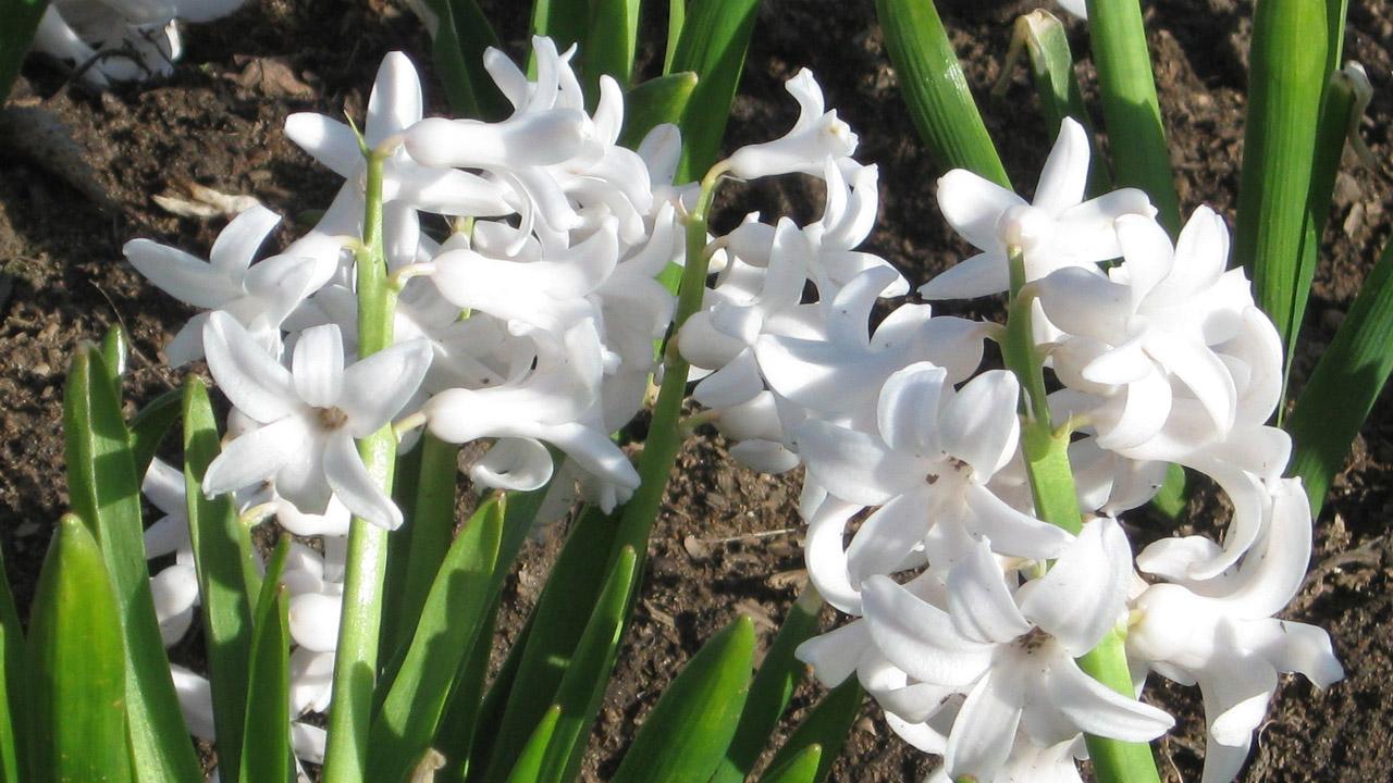 Hyacinthus Grand Blanche. Фото 2015.04.30, г. Минск, ЦБС НАН РБ