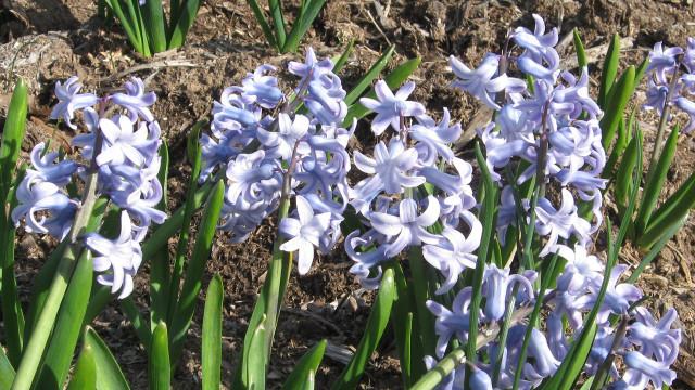 Hyacinthus Grand Lilac. Фото 2015.04.30, г. Минск, автор фото Фоков Геннадий.