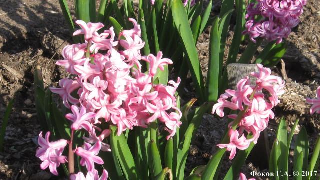Minsk_hyacinthus_Anna_Marie_1