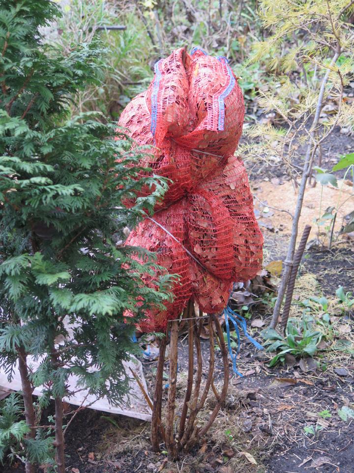 Глртензия, подготовка к зиме, дубовые листья