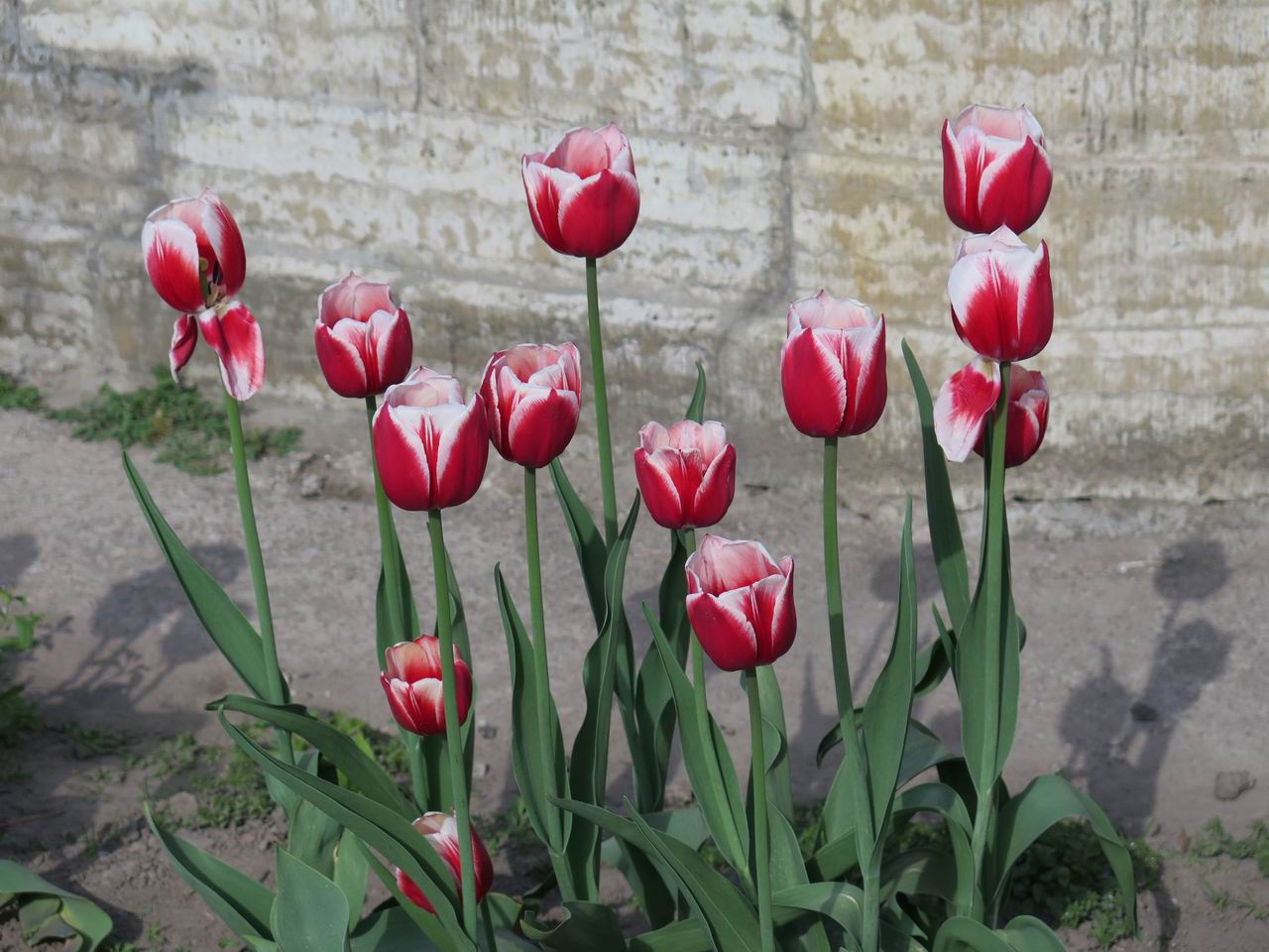 Тюльпан Delta Queen, класс Триумф. Петербург, Ботанический сад Петра Великого