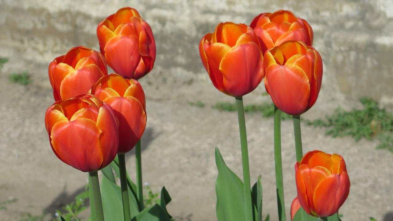 Тюльпан Трипл, класс 3 Триумф