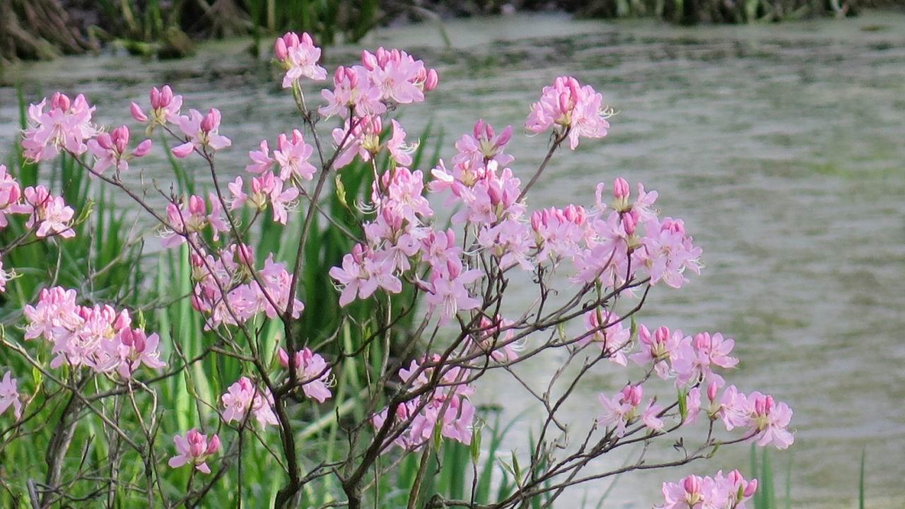 Похожий на сакуру куст у пруда. Петербург, ботсад