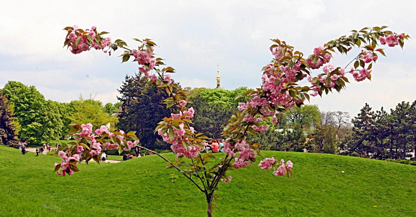 ботсад им. Гришко, цветущее дерево, золотой шпиль