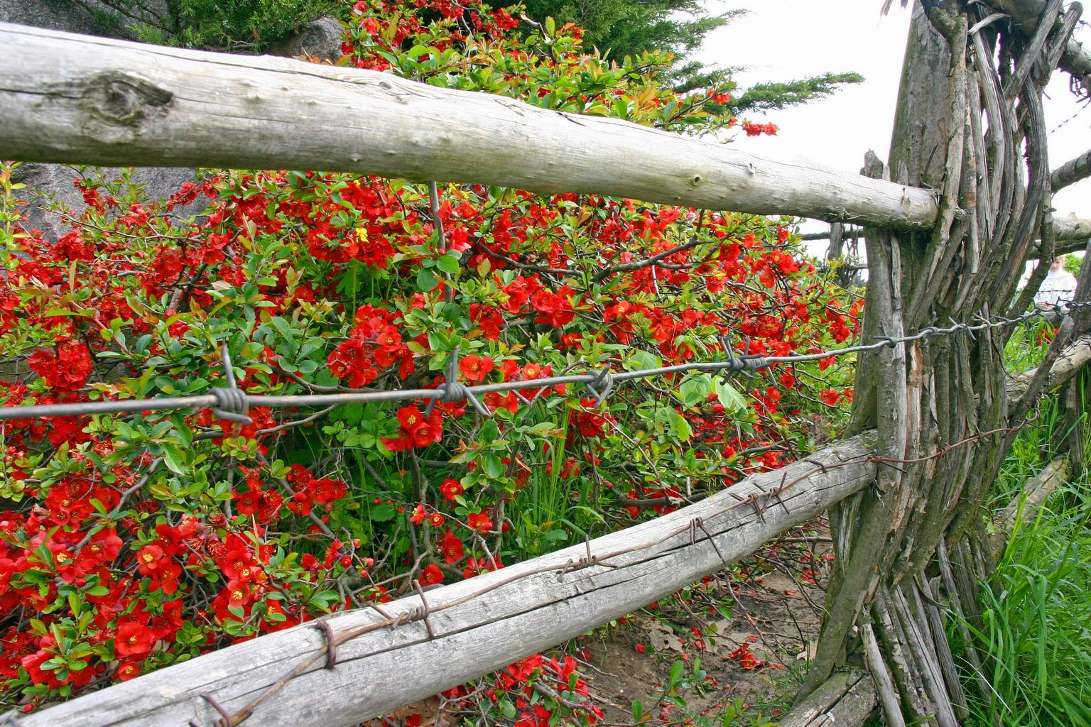 Цветы, изгородь с колючкой, Киев, ботсад Гришко